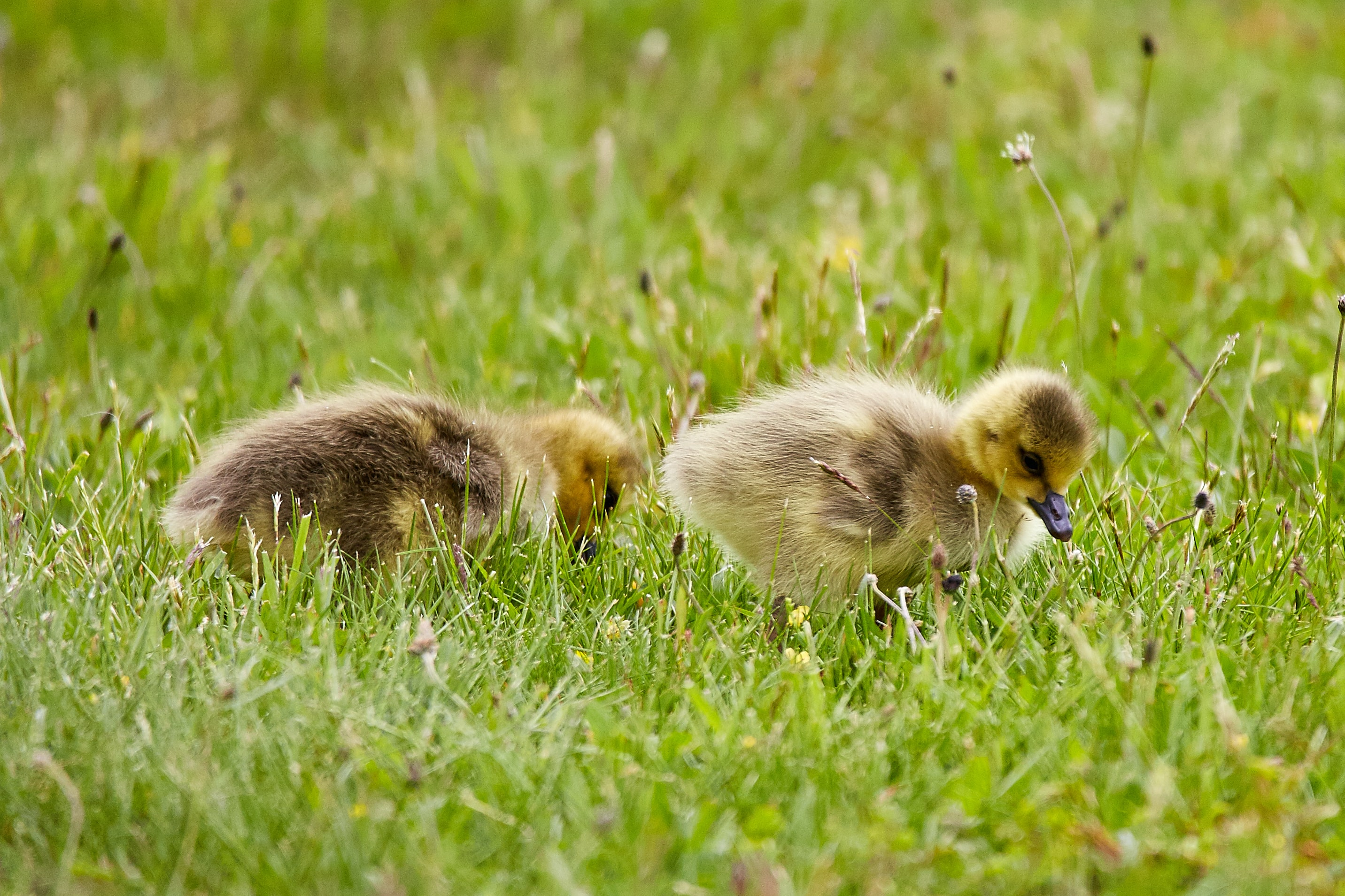 two yellow ducklings on green grass
