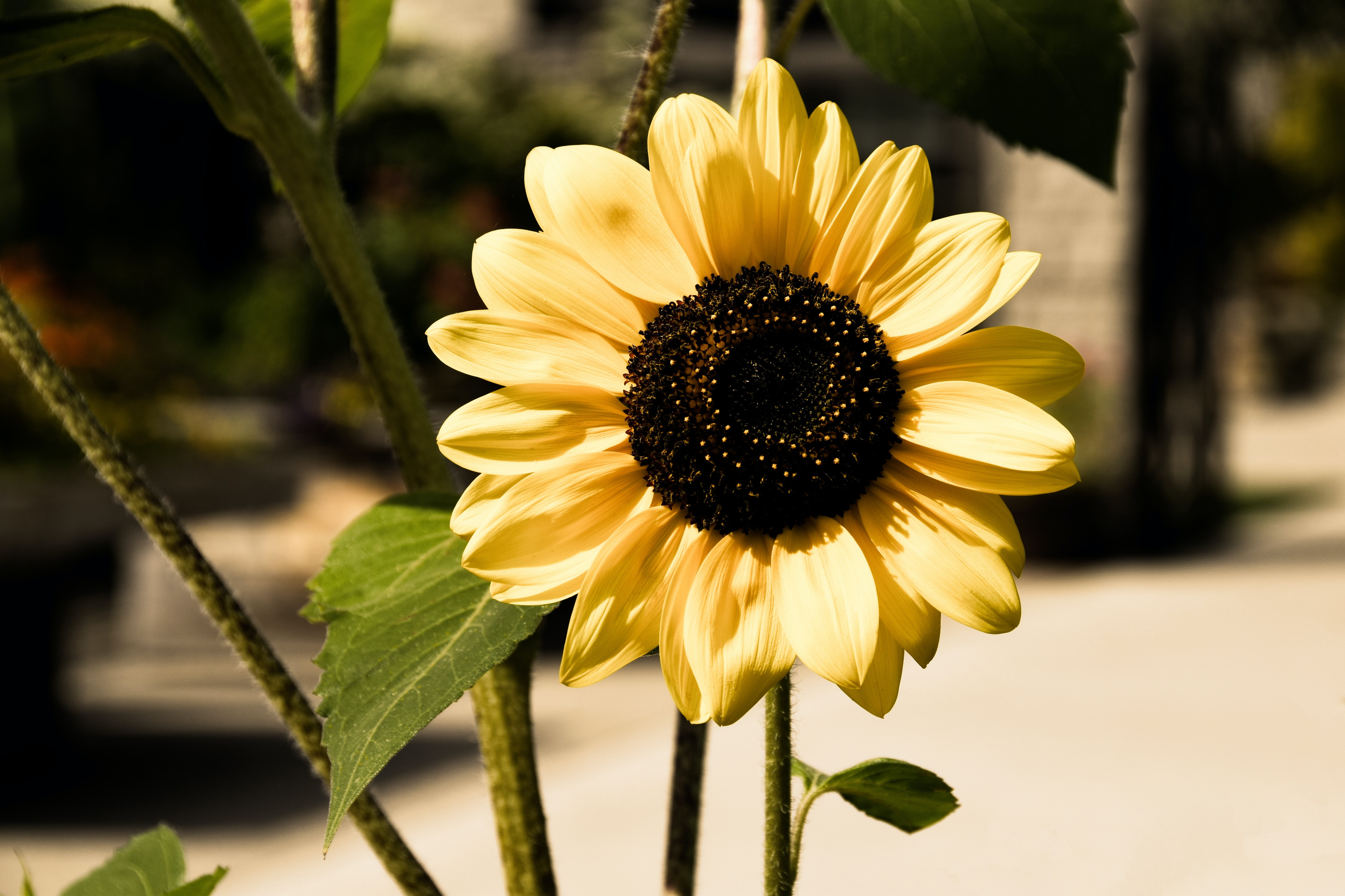 sunflower in shallow focus photography