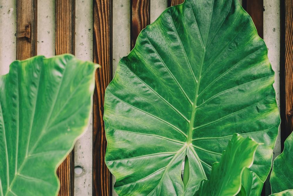 green taro plants
