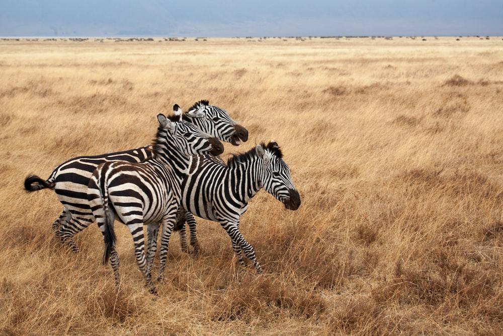 three zebras on brown grass field