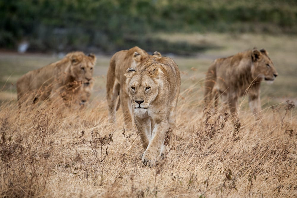 pride of lion walking on dried grass
