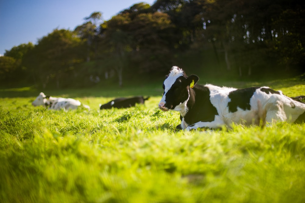 three black and white Angus cattle on green grass during day
