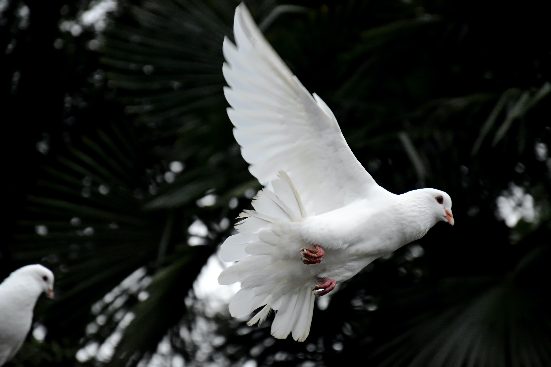 two white doves flying