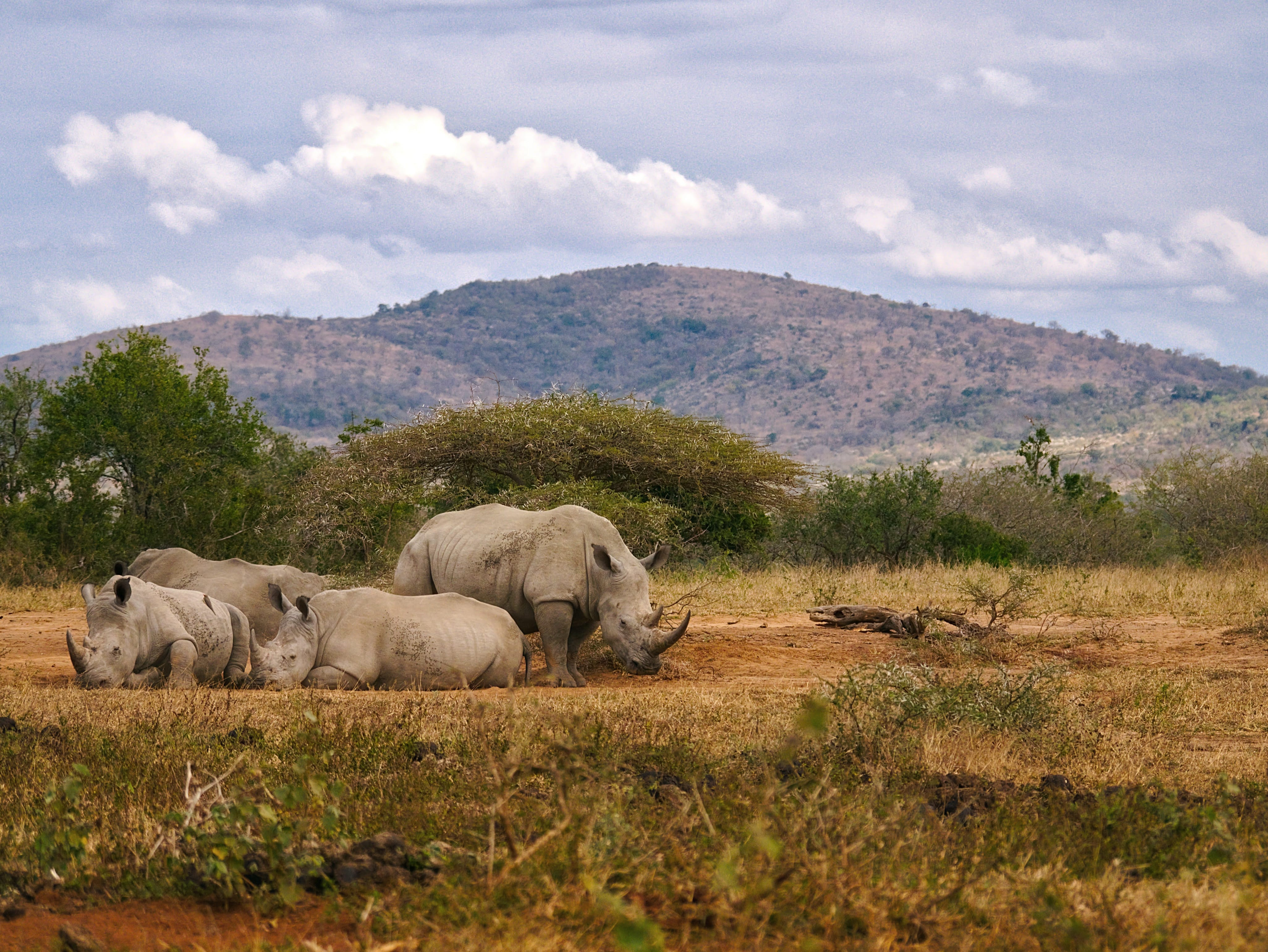 herd of gray Rhinoceros resting on ground during day