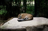 leopard reclining on brown surface