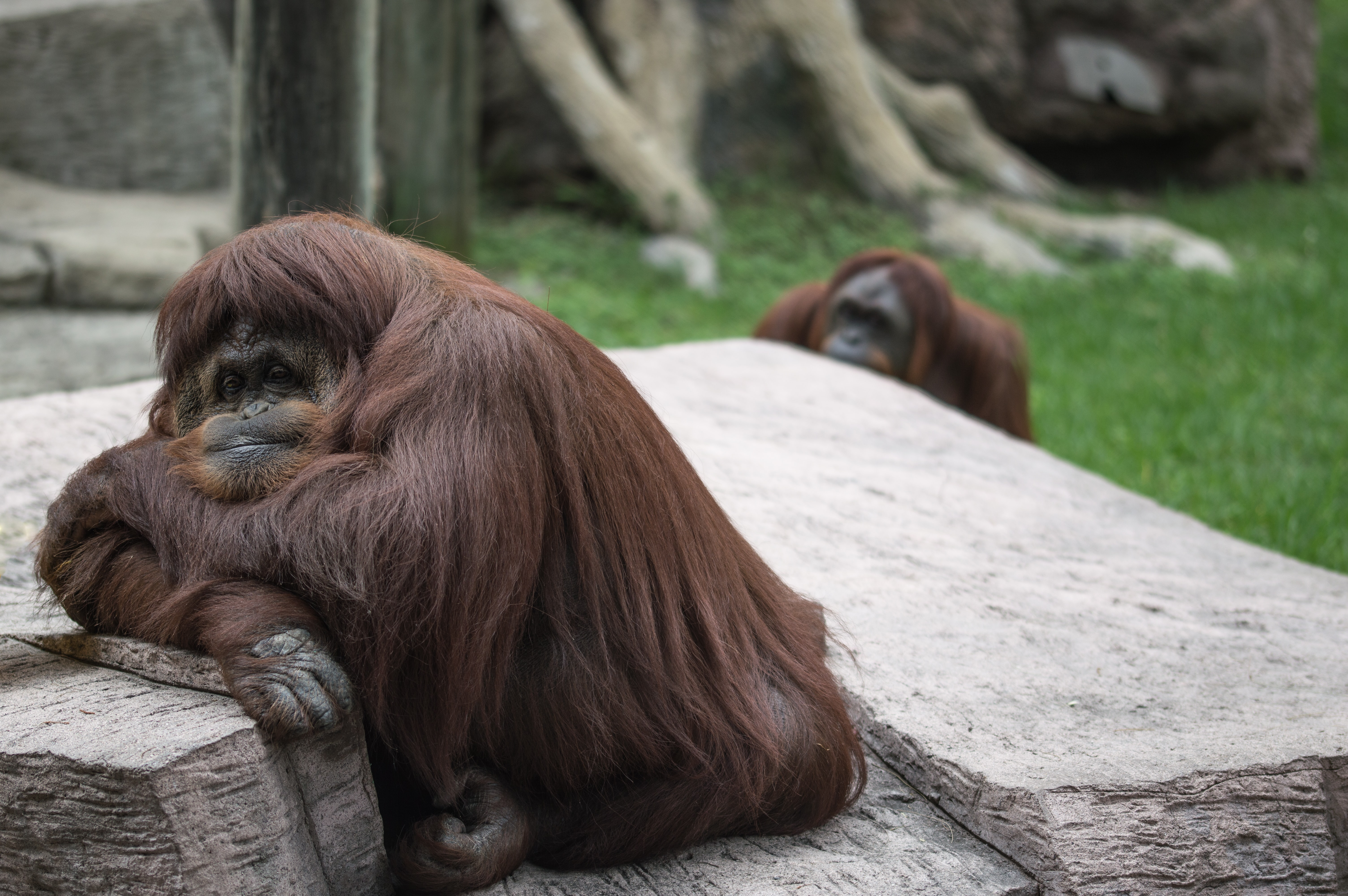 two brown monkeys sitting on floor at daytime