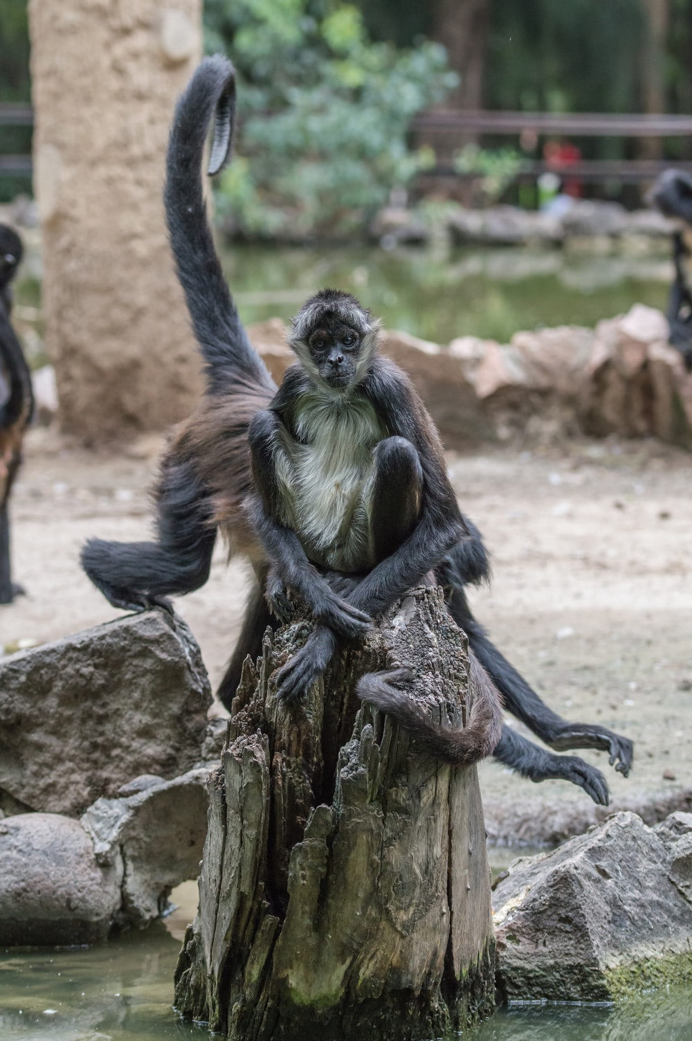 black monkey sitting on tree slab