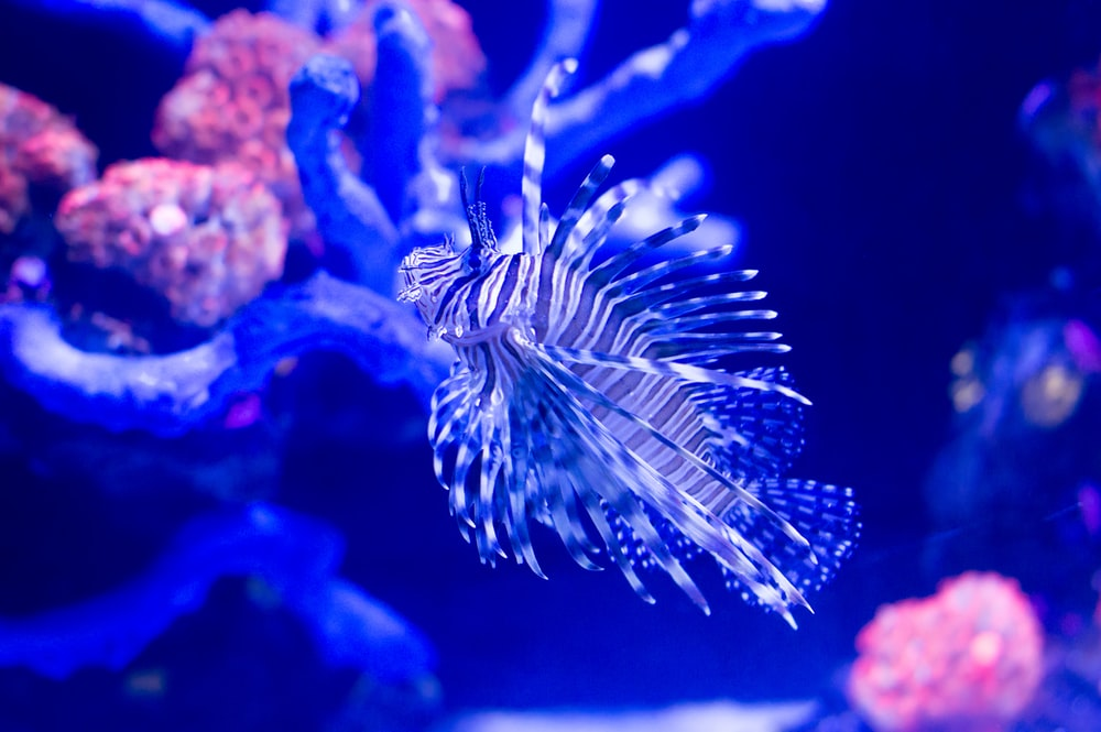 black and white lion fish