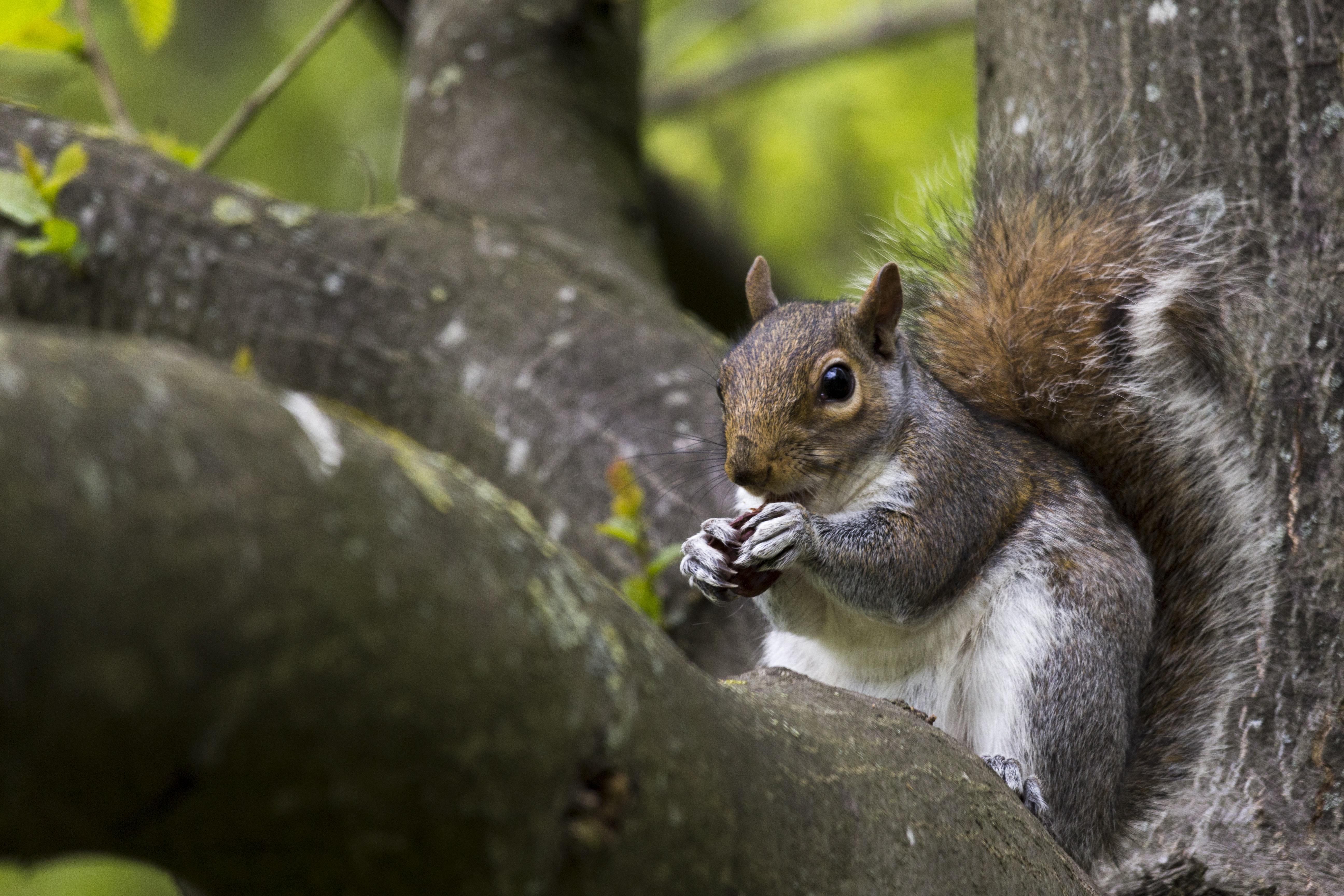 gray squirrel standing on tree