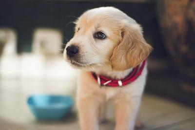 best brush for golden retriever puppy