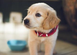 面向右侧涂覆短棕色小狗的选择性焦摄影