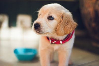 selective focus photography of short-coated brown puppy facing right side puppy zoom background