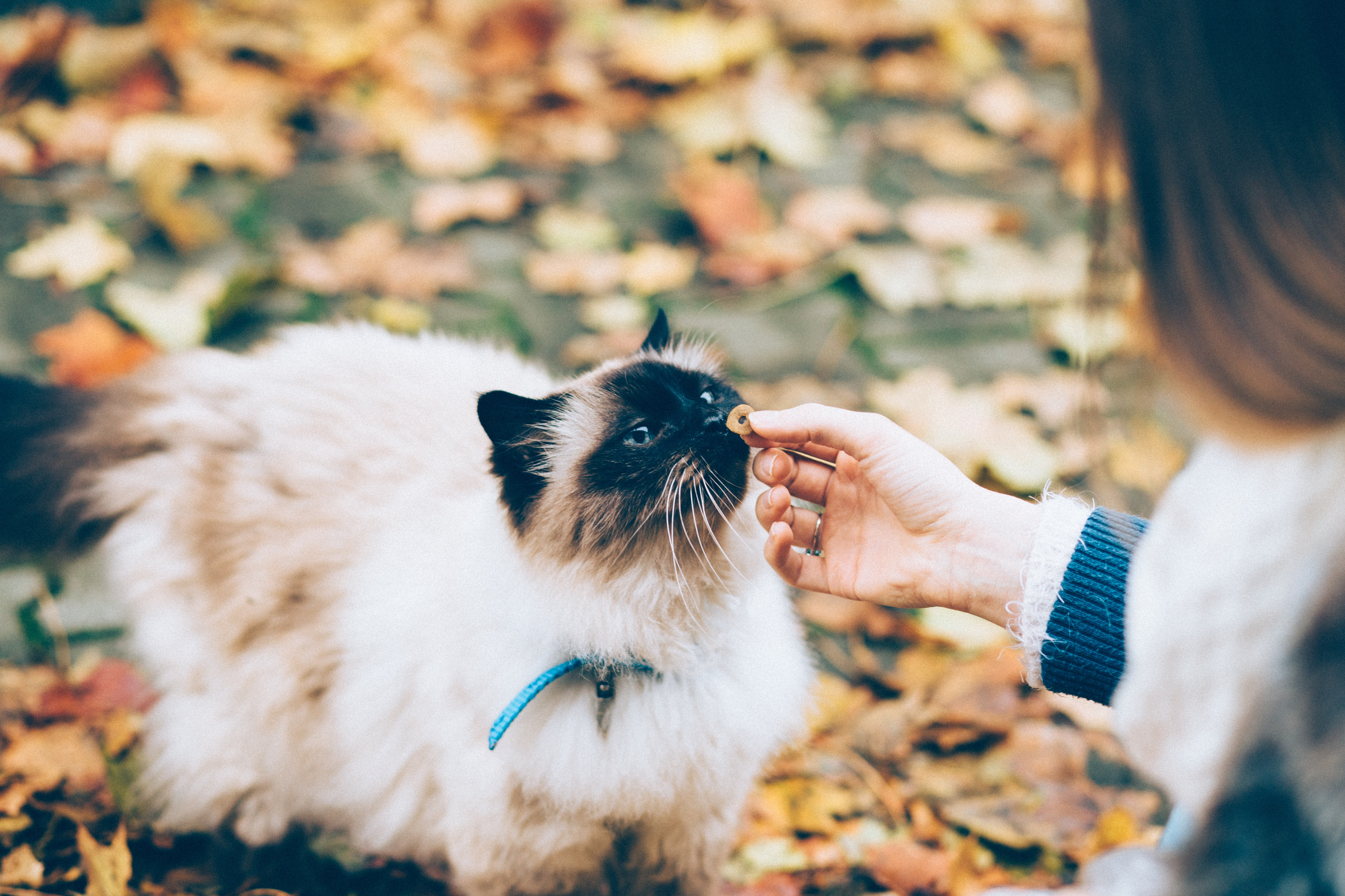 person feeding white and black cat