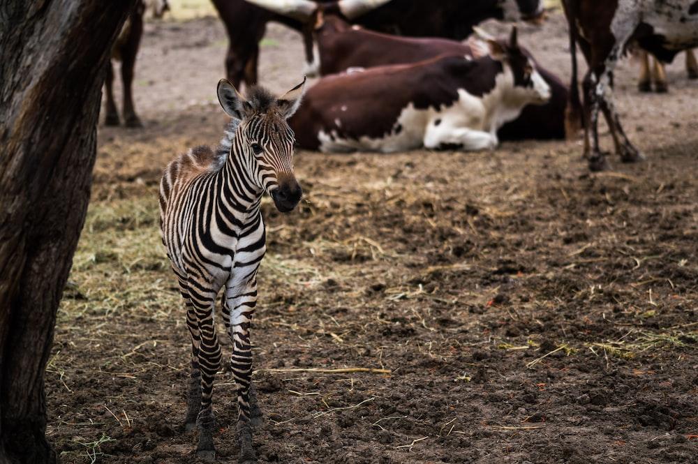 zebra standing besides brown tree trunk