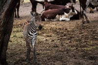zebra standing besides brown tree trunk