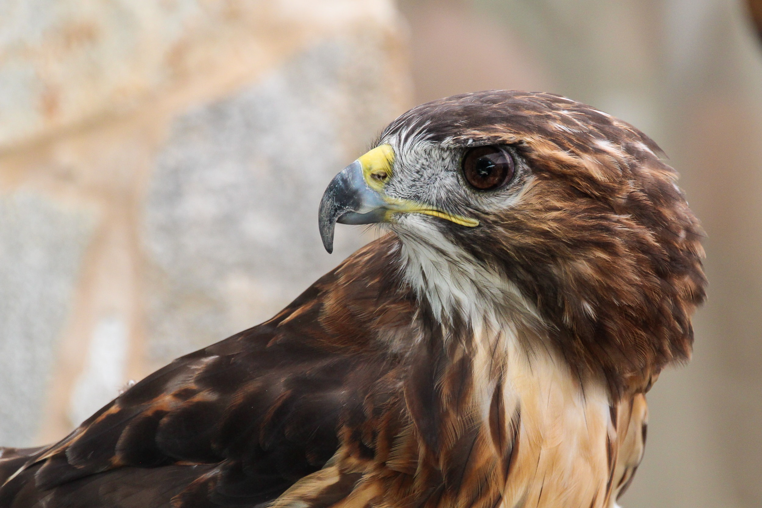 closeup photography of brown eagle