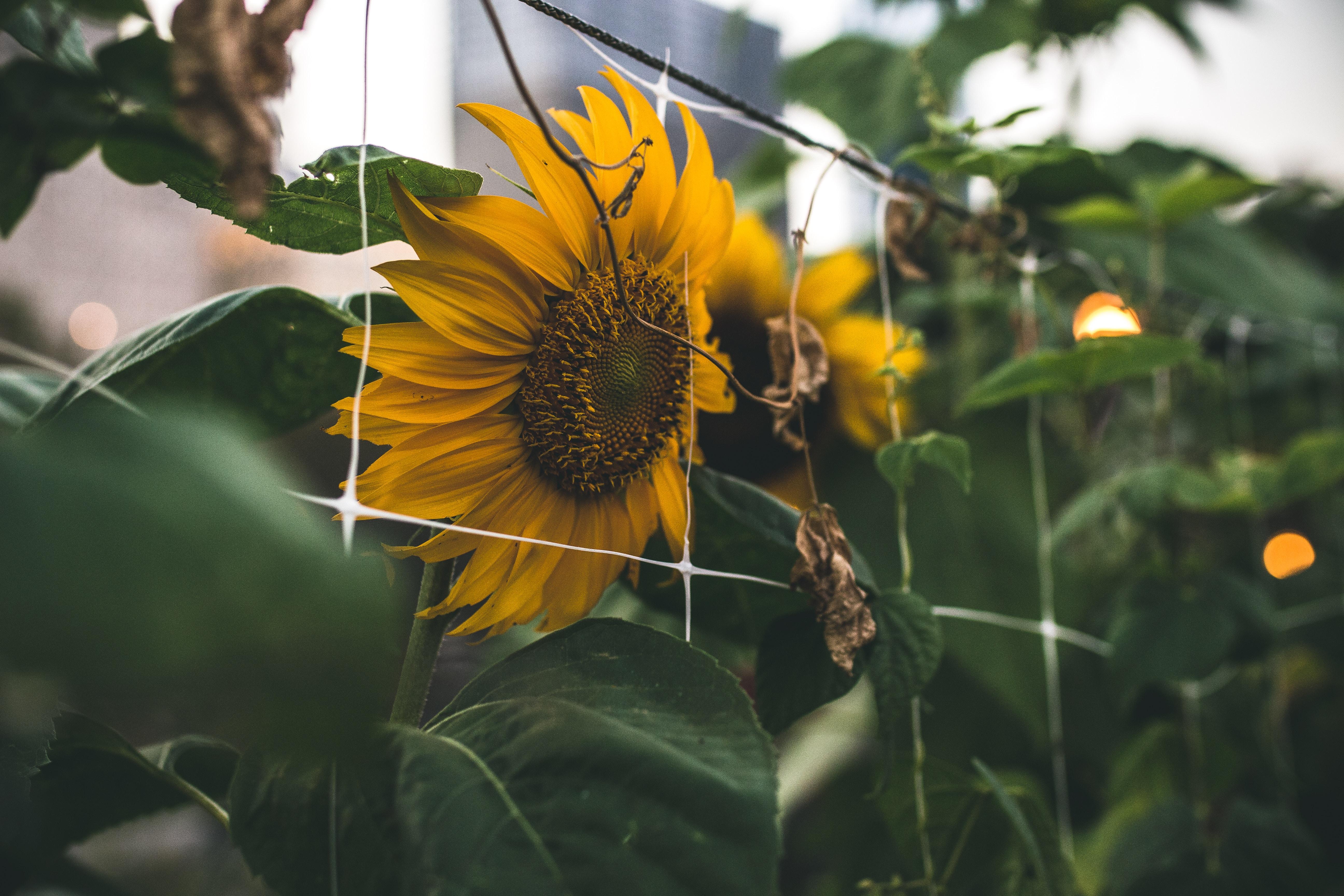 sunflower shallow focus photography