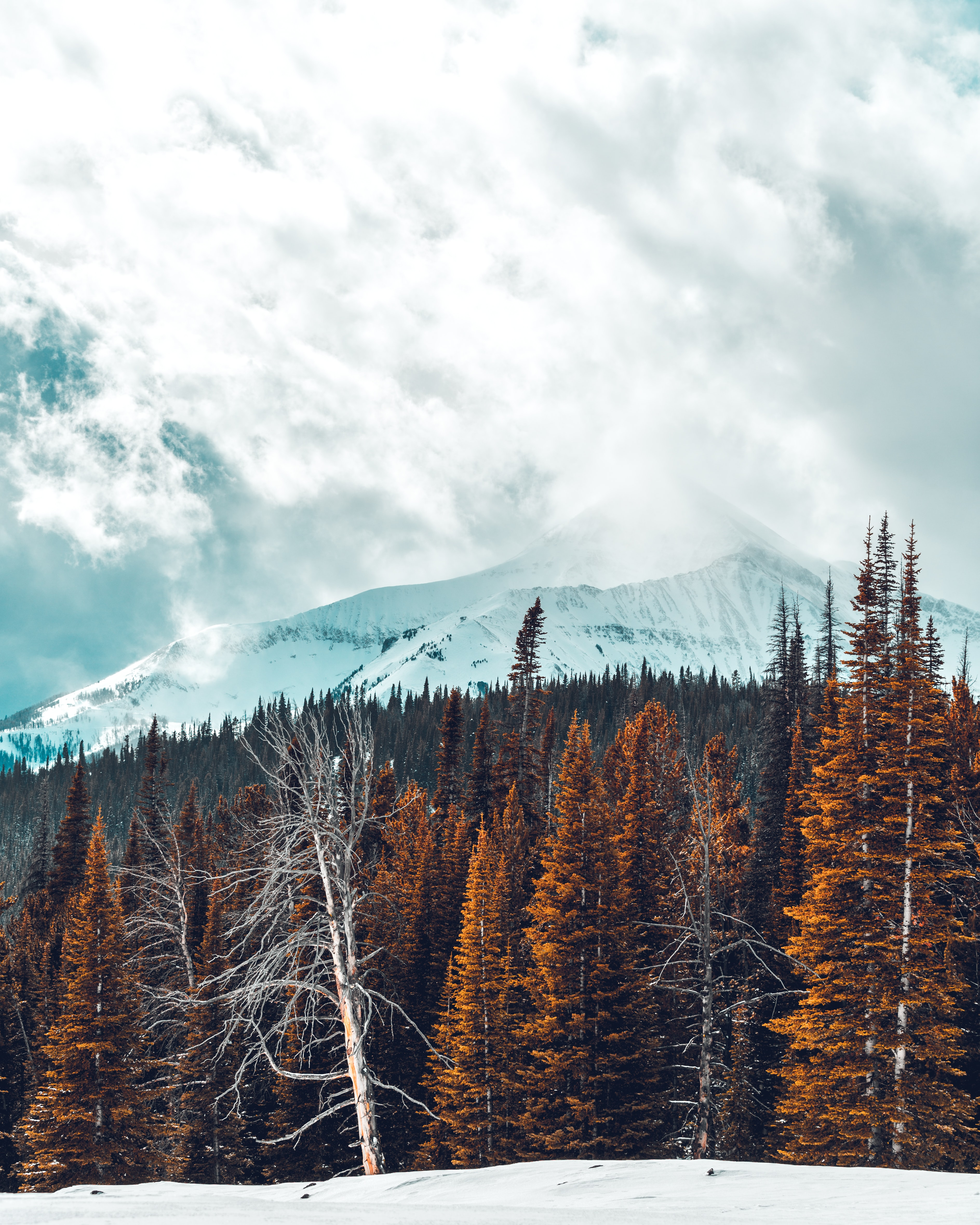 pine trees in front of snow-capped mountain