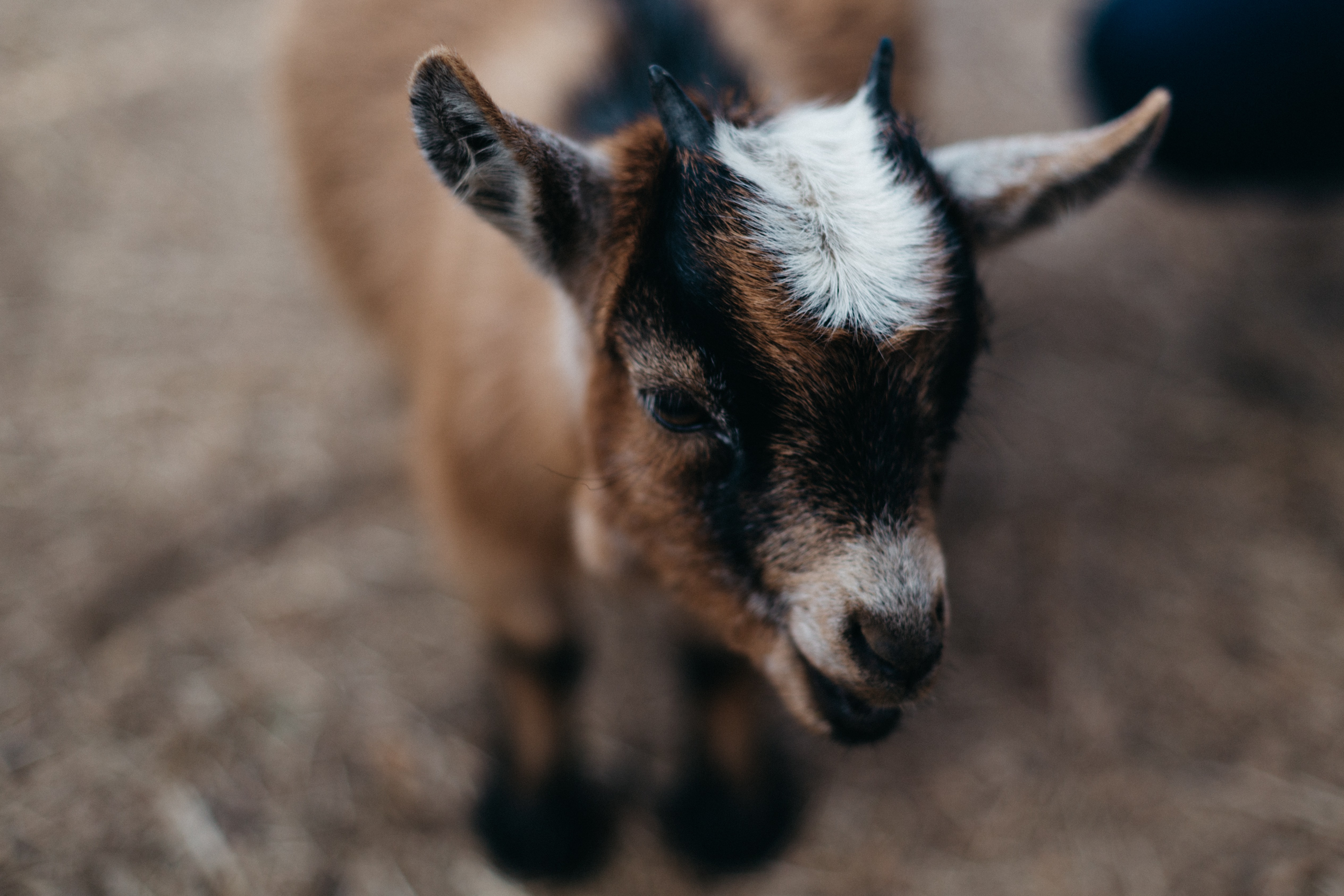 selective focus photography of brown and black goat kid