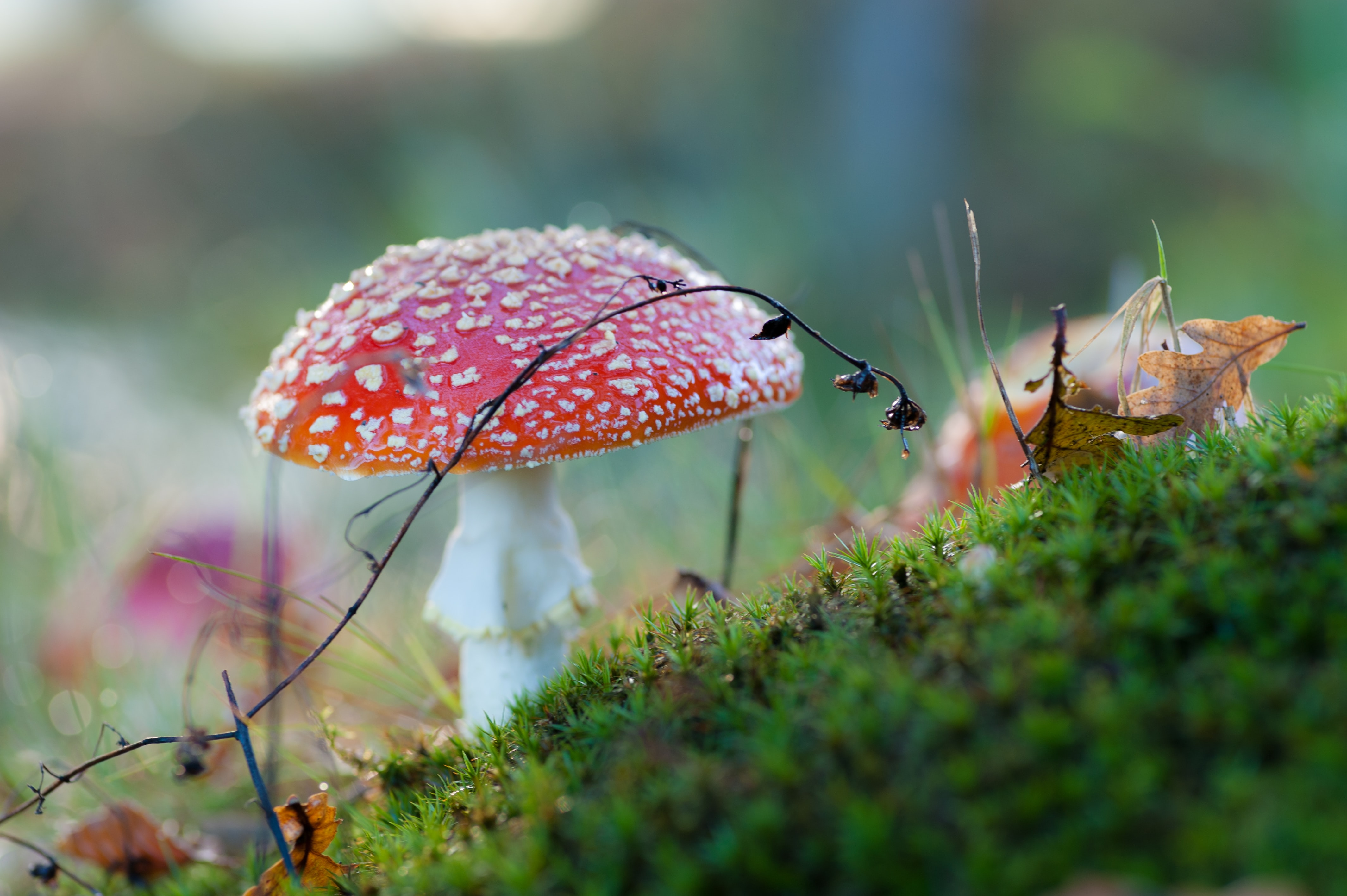 red and white mushroom on green grass ground