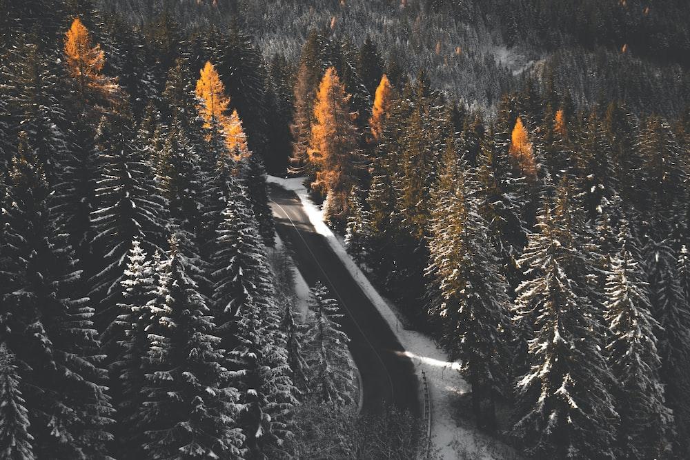 green pine trees near gray concrete road