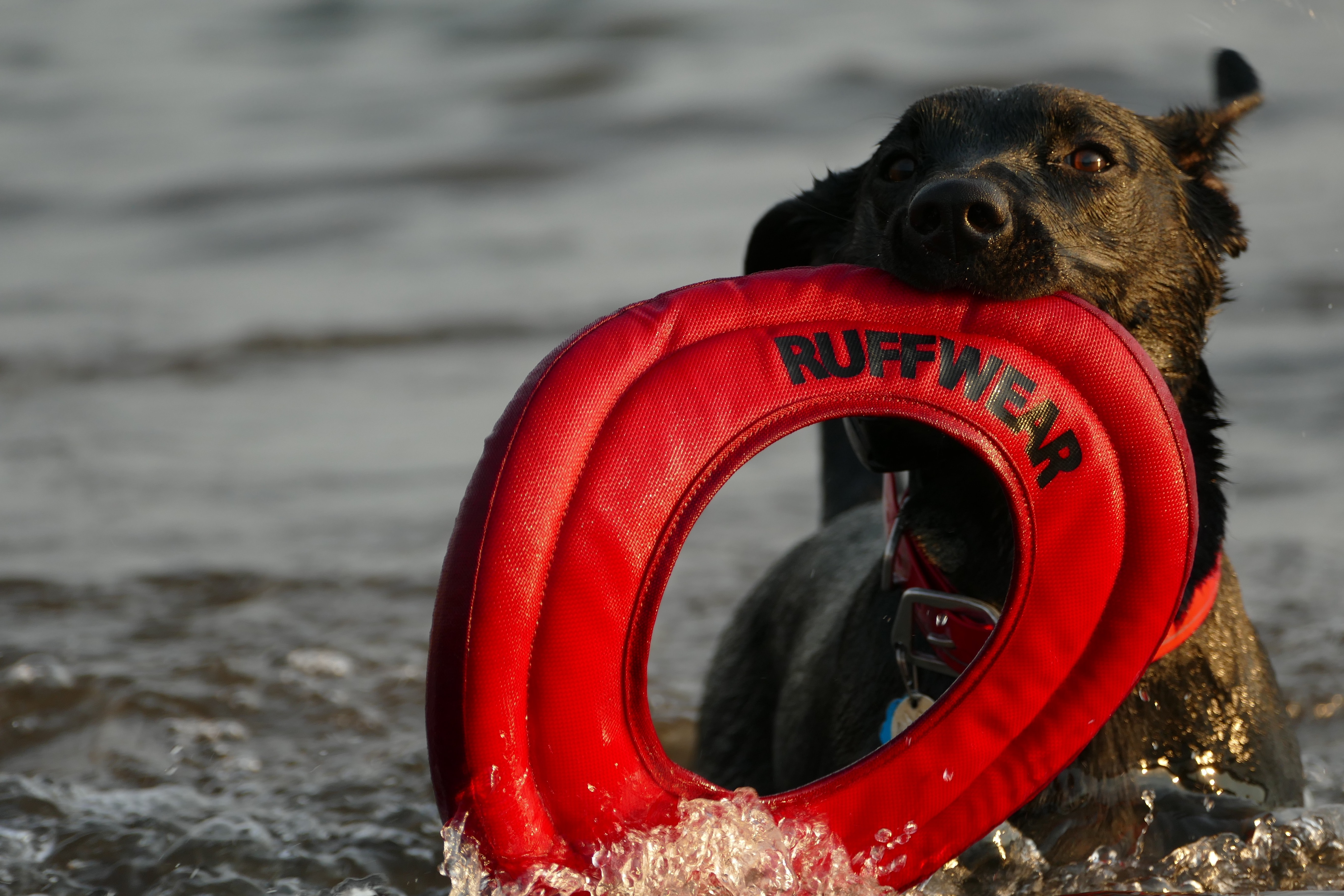 dog fetching toy on body of water