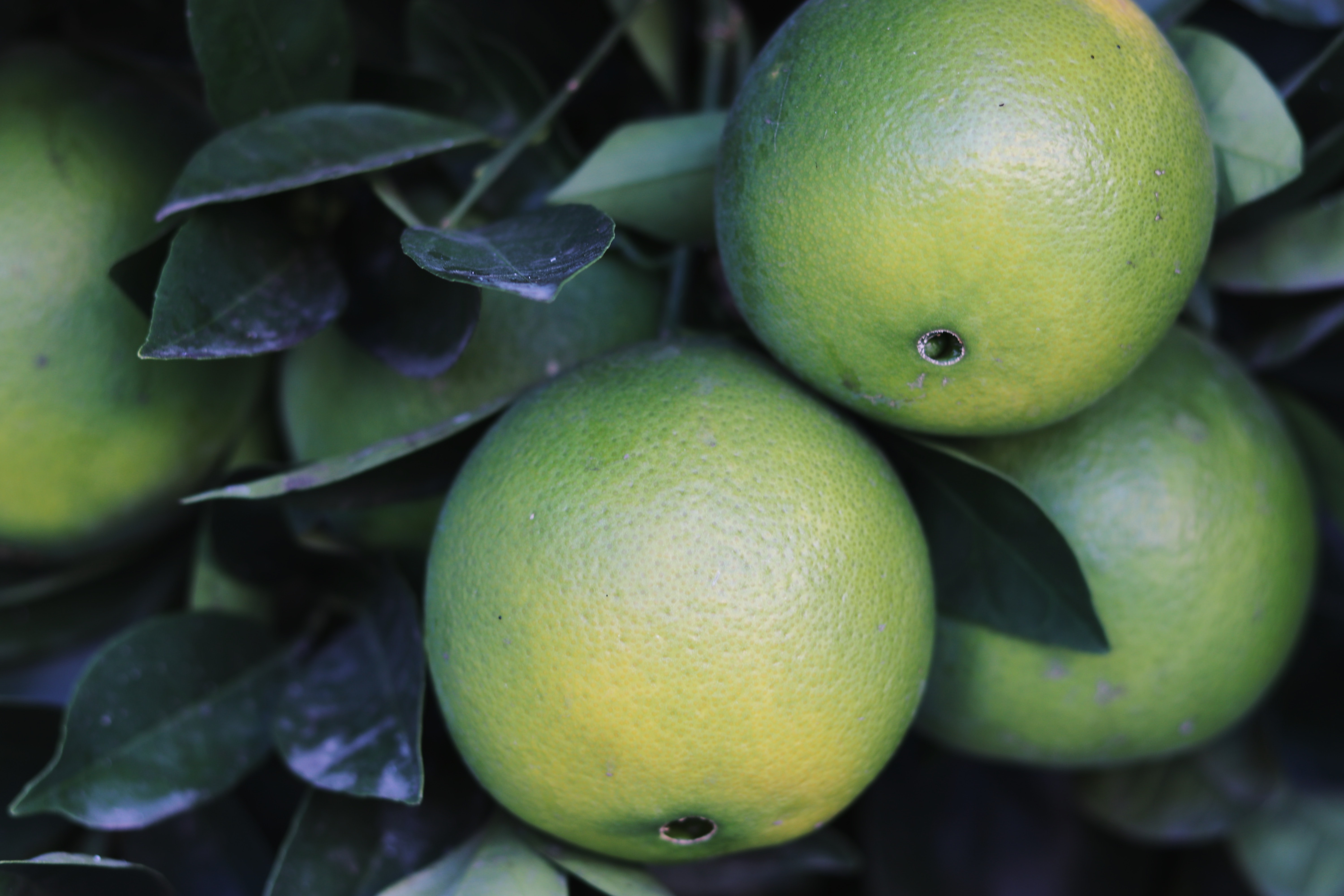 selective focus photo of round green fruits