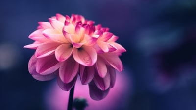 selective focus photo of pink petaled flower flower teams background