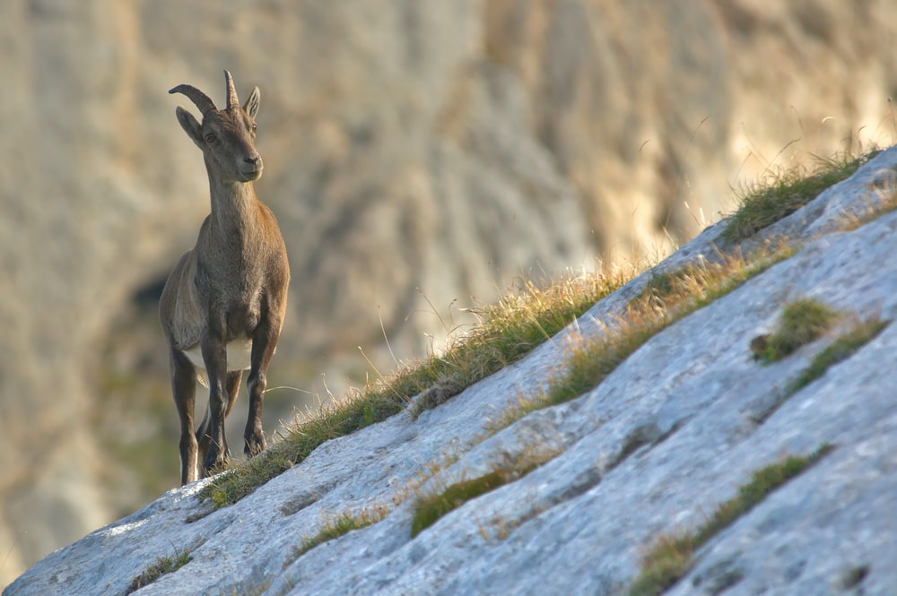 brown mountain goat on grey slanting land with grasses selective-focus photography at daytime