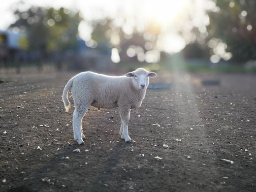 white lamb on road