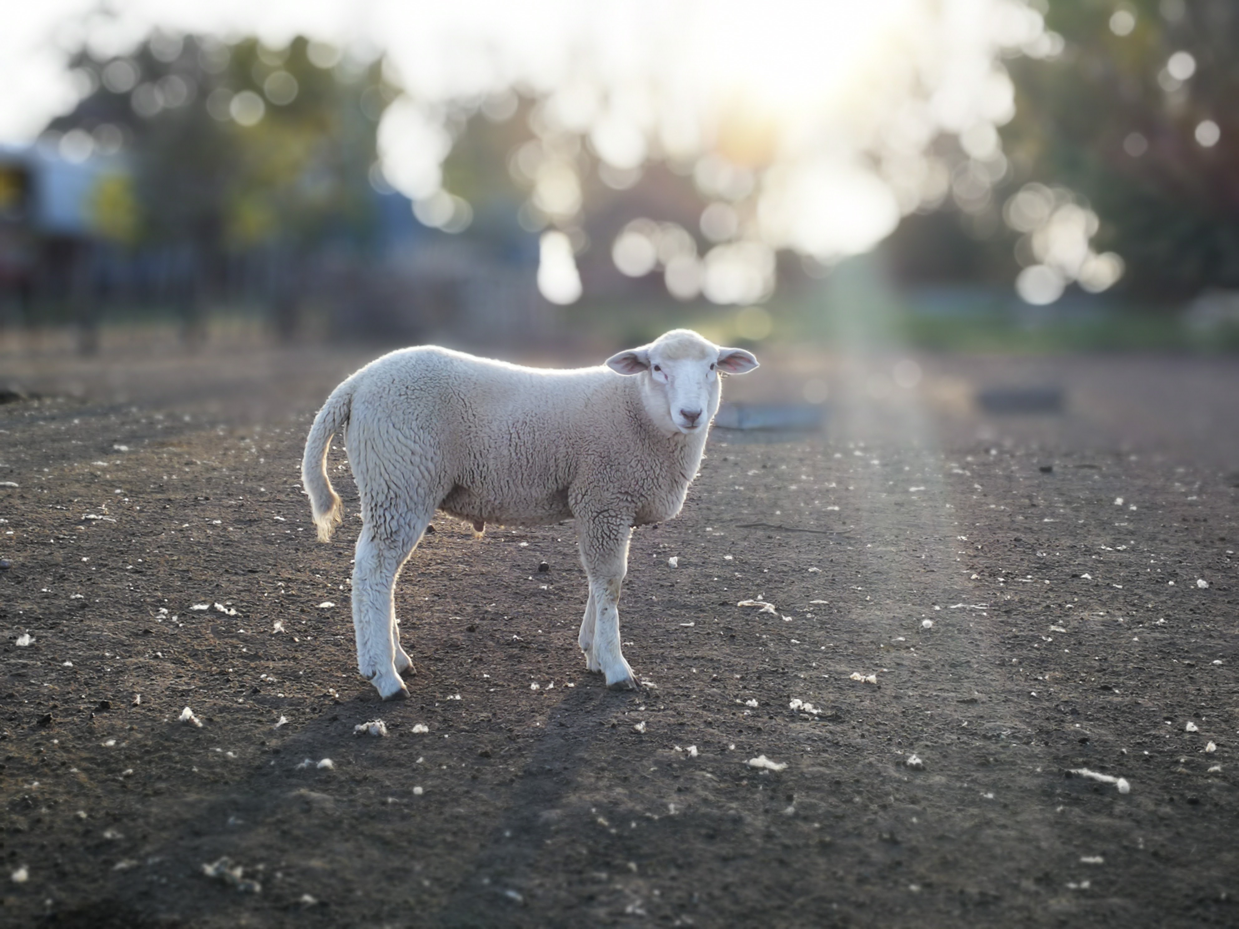white lamb on road