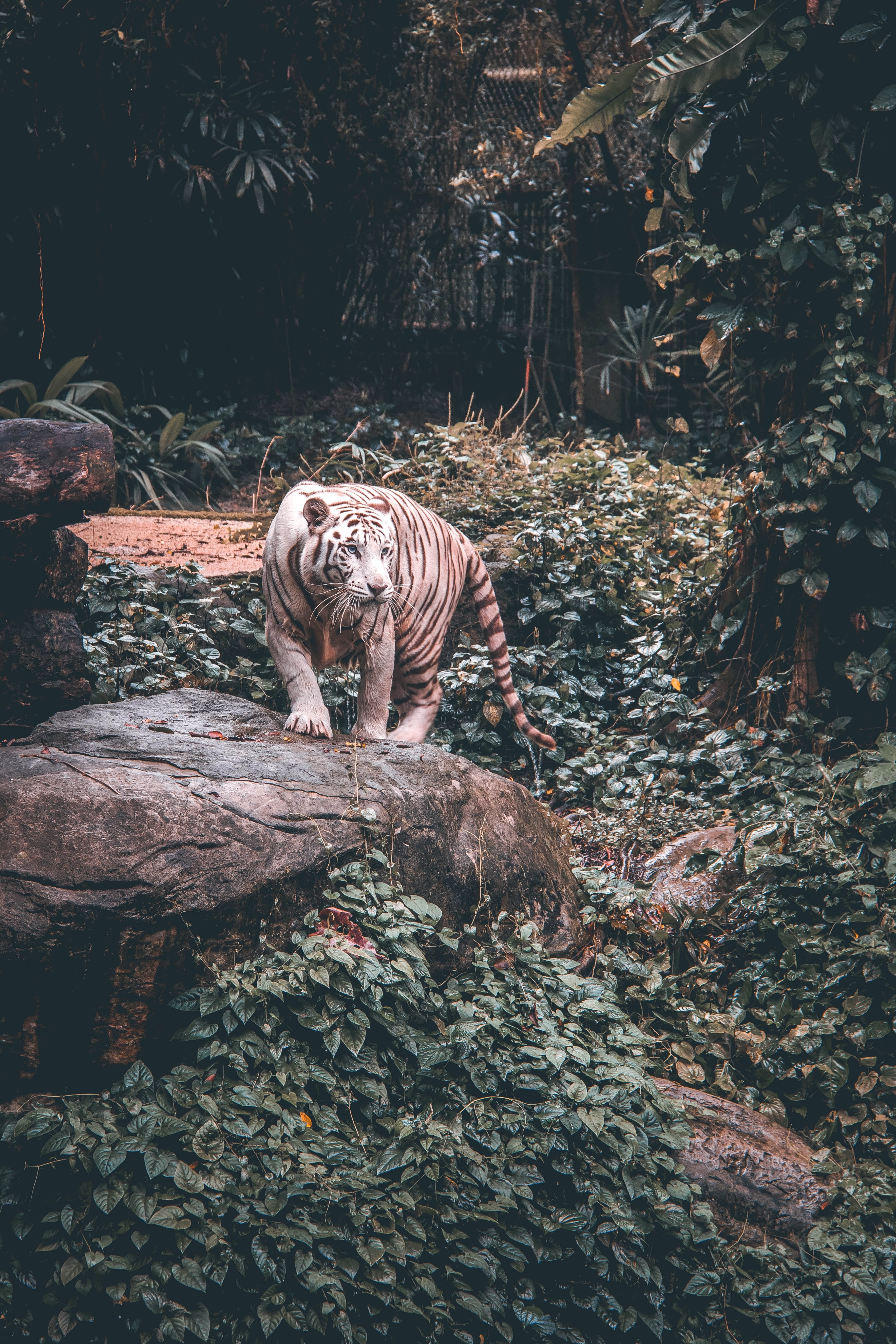 white tiger standing on grey stone