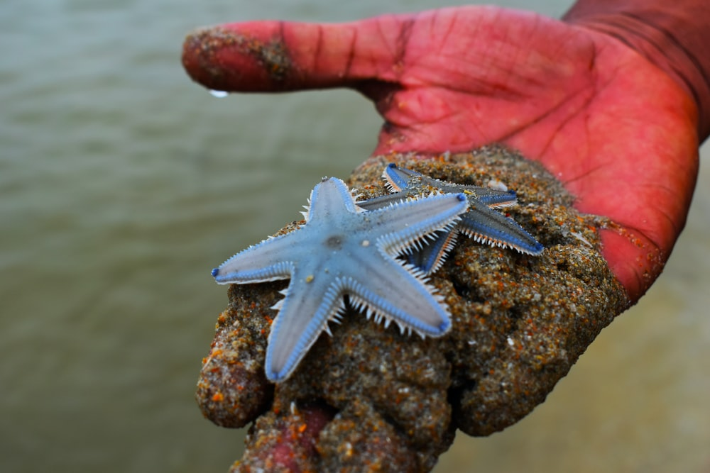 person holding two blue star fishes