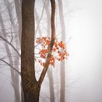 orange maple tree