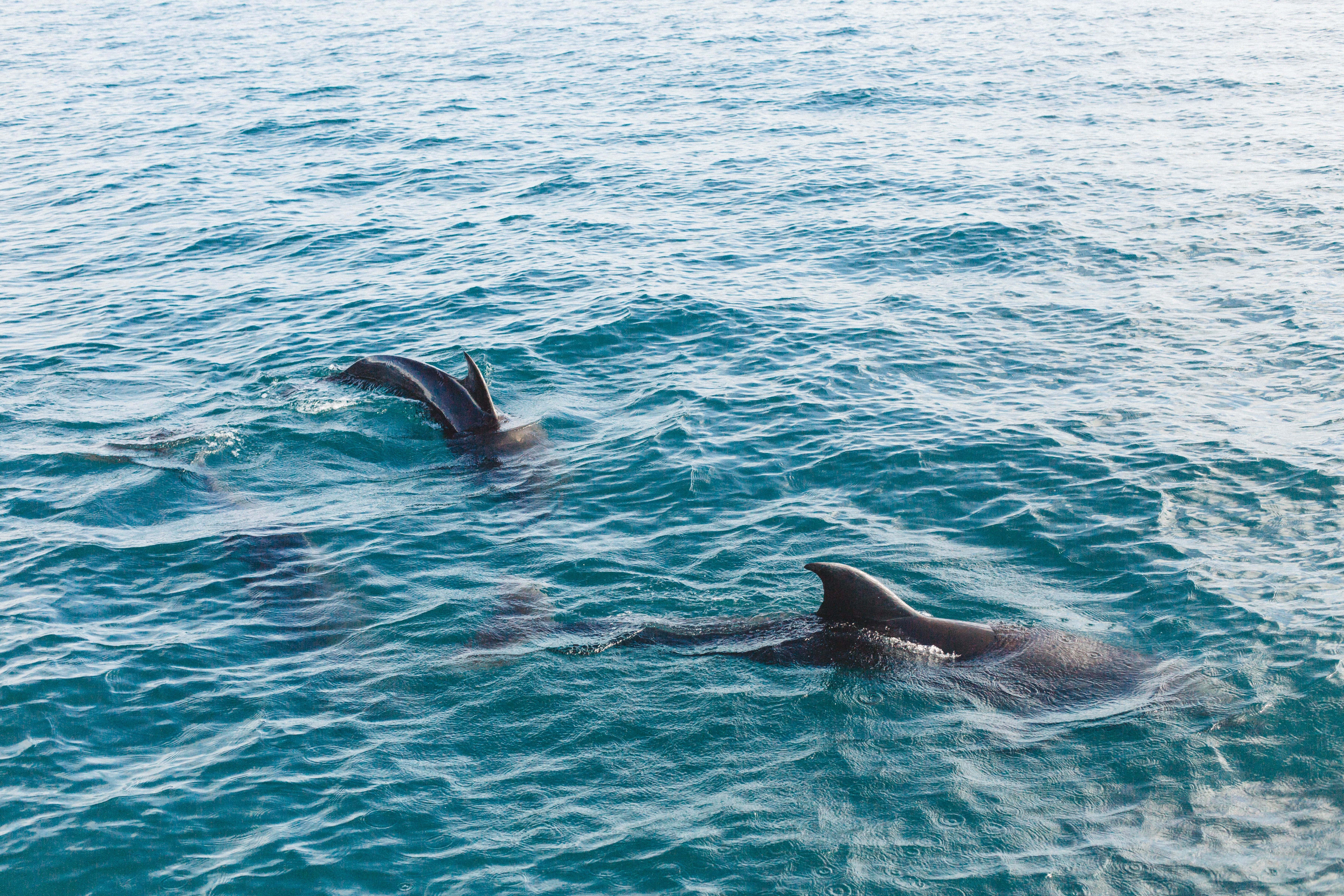 two black dolphins surfacing on turquoise water during daytime