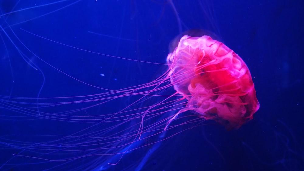 underwater photography of pink sting jellyfish