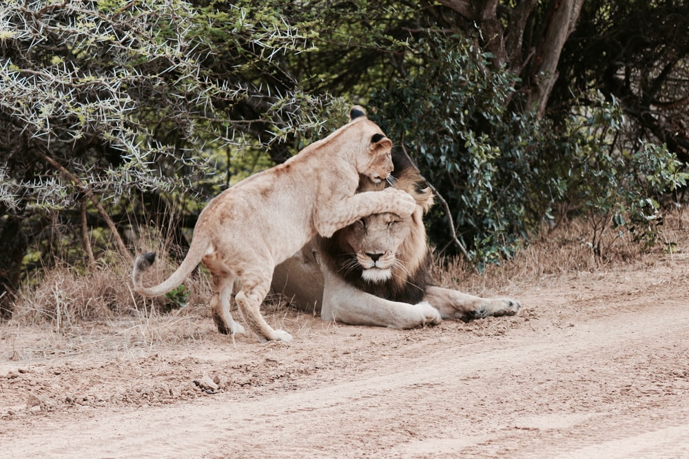 lion beside lioness during daytime