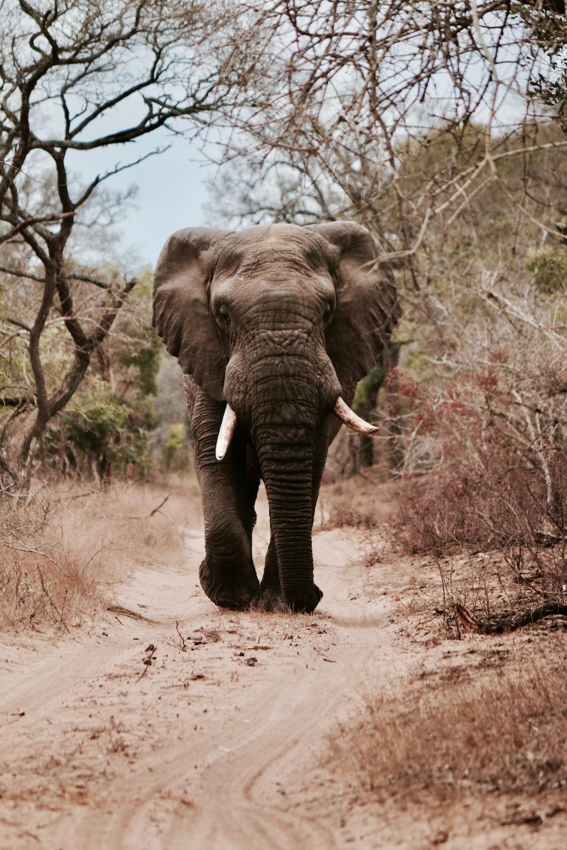 black elephant walking on brown sand