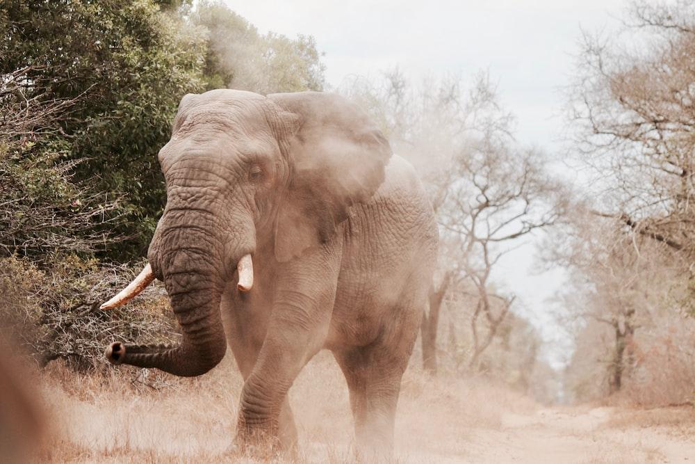 grey elephant near trees walking during daytime