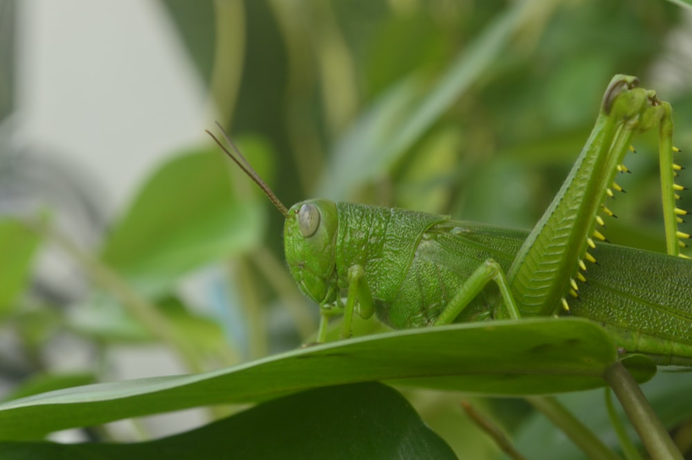 green grasshopper on green grass
