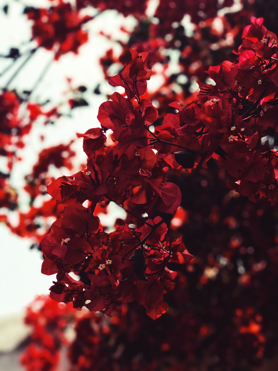 Red Leaves Photo Free Red Image On Unsplash
