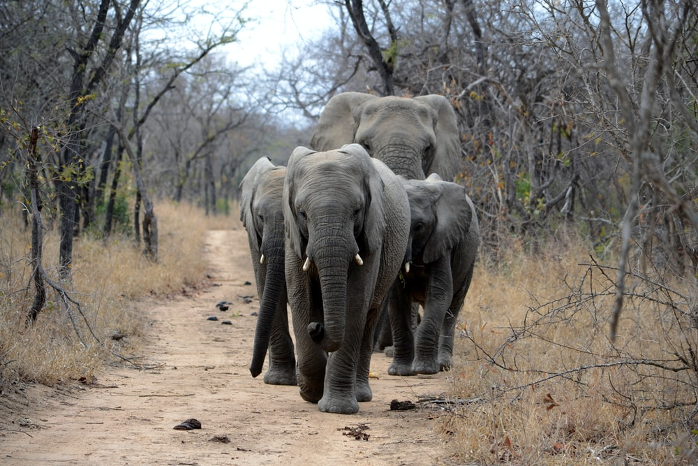 four gray elephants walking on road between trees during daytime