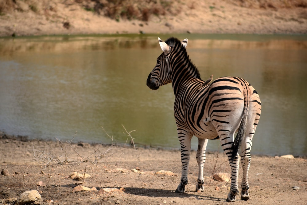 brown and black zebra standing near body of water