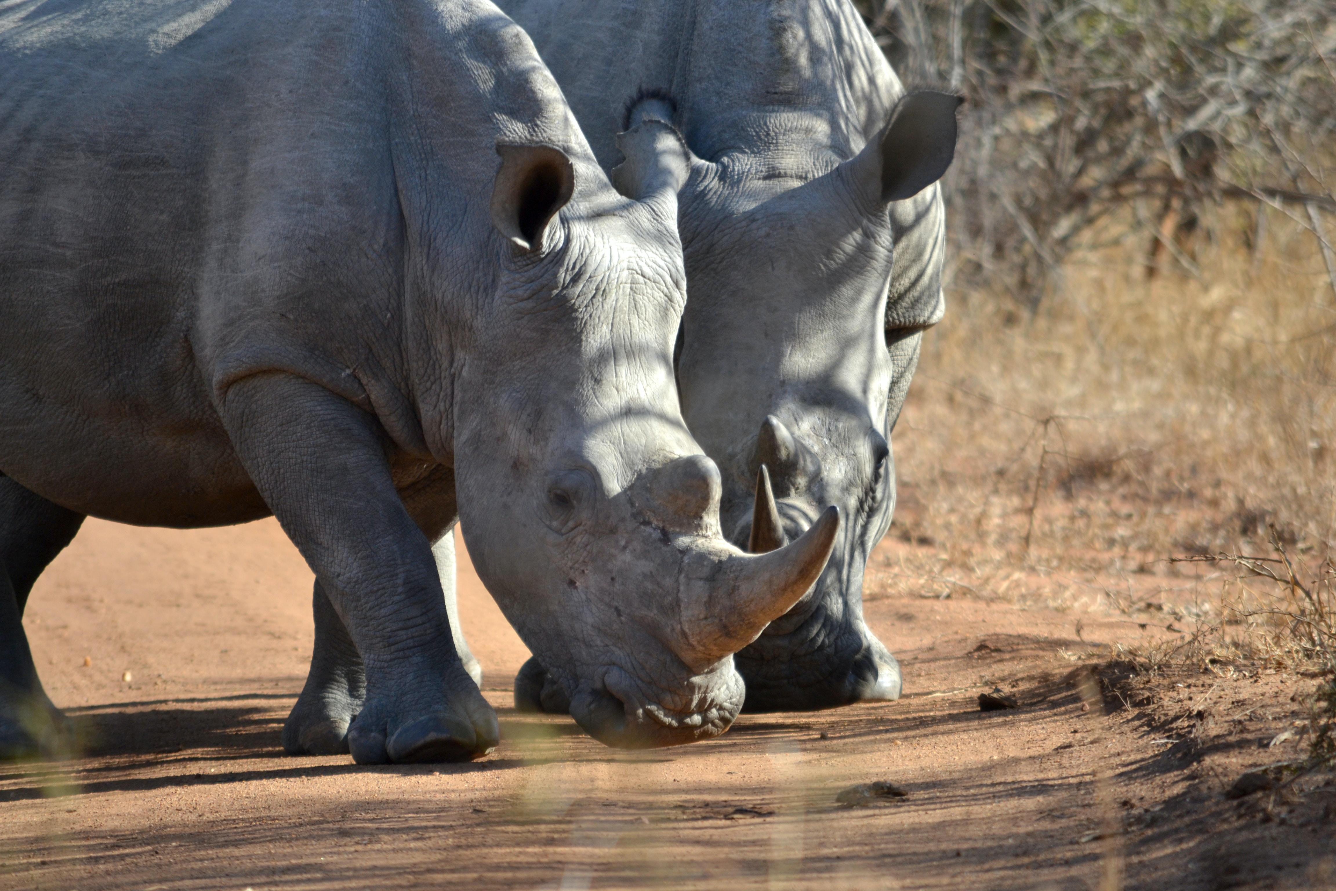 two gray rhinoceros