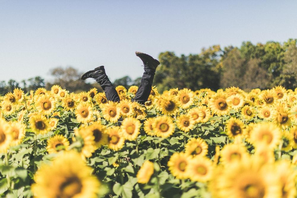 sunflower field at daytime