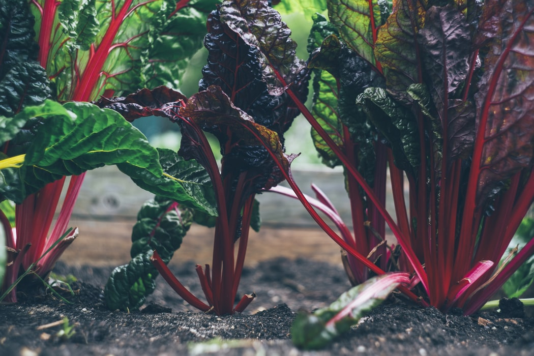 Growing Rhubarb | Grow A Vegetable Garden With In Season Vegetables
