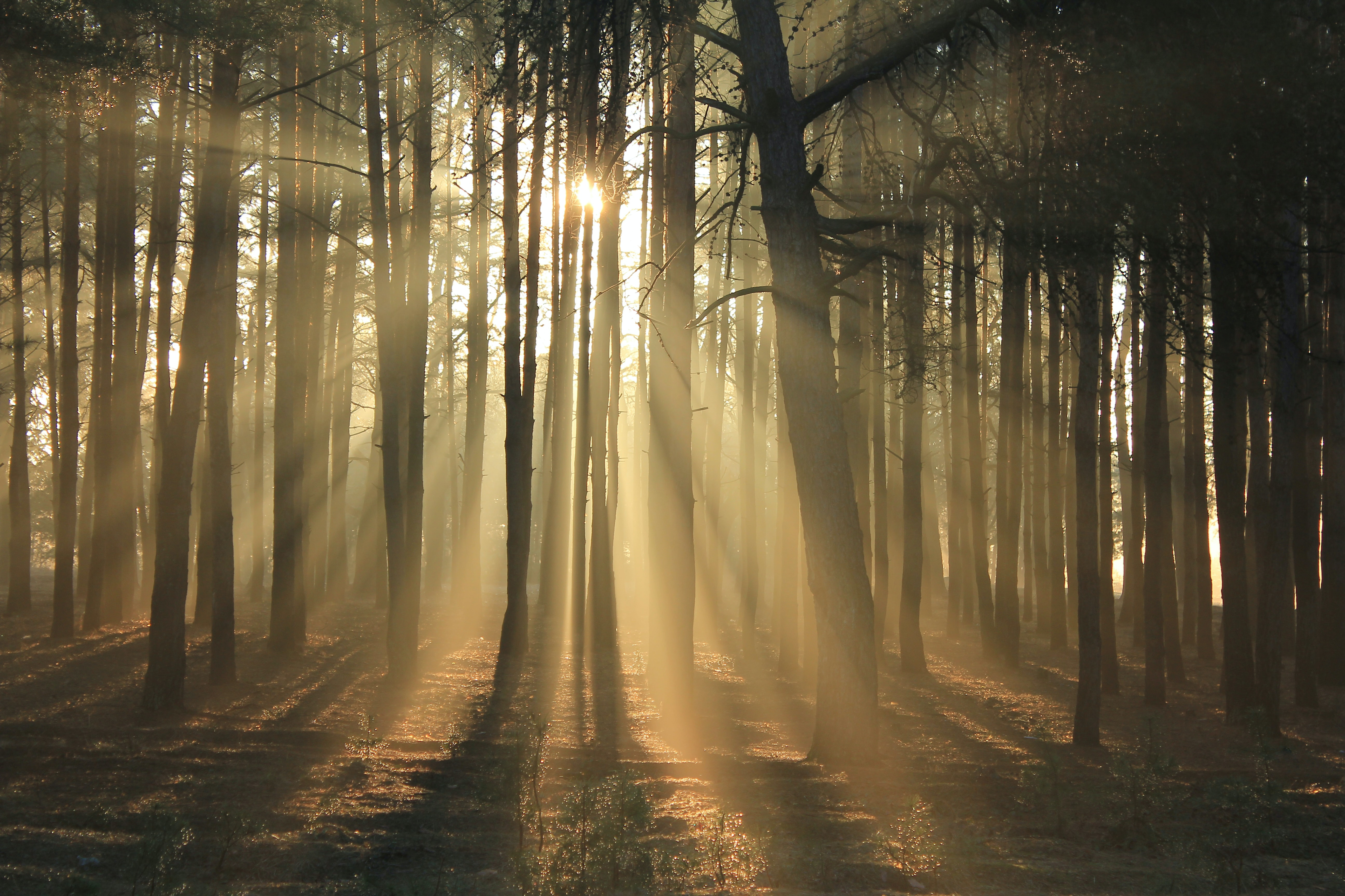 silhouette photography of tall trees