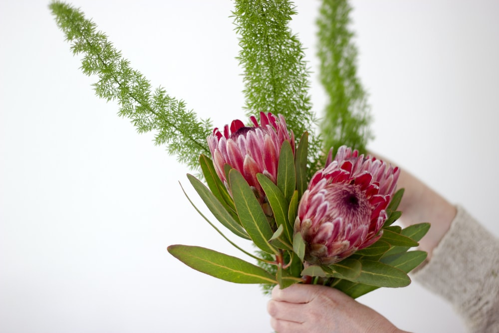 person holding pink flowers