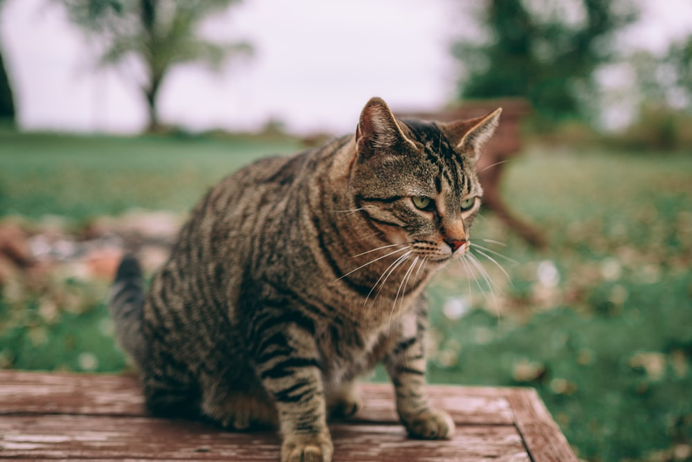 selective focus photography of brown tabby cat on brown wooden table