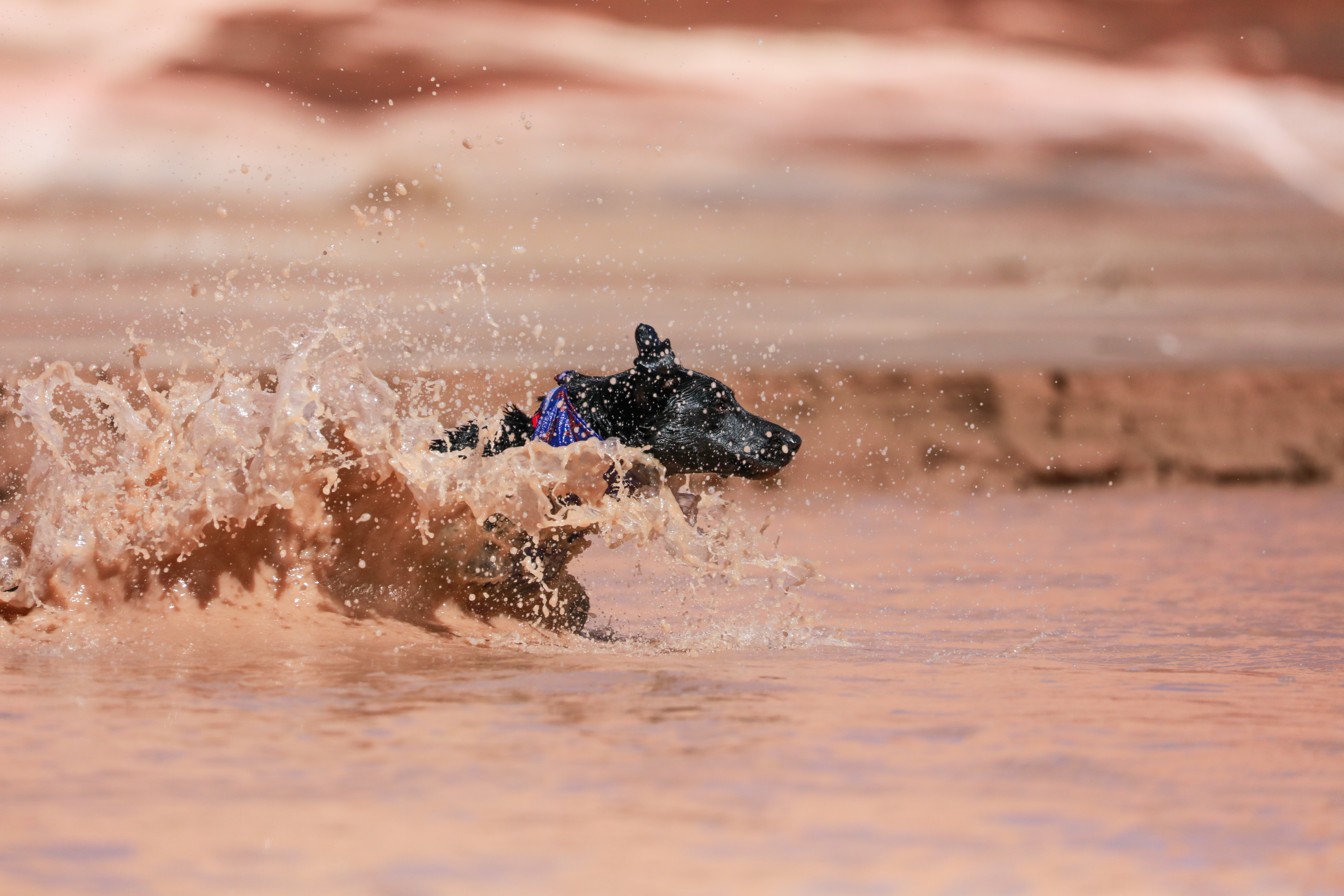 short-coated black dog soaked in brown water